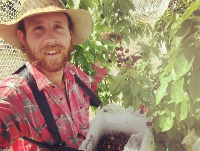 Ant harvesting cherries