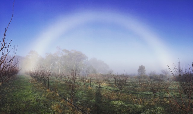 TFG orchard white rainbow