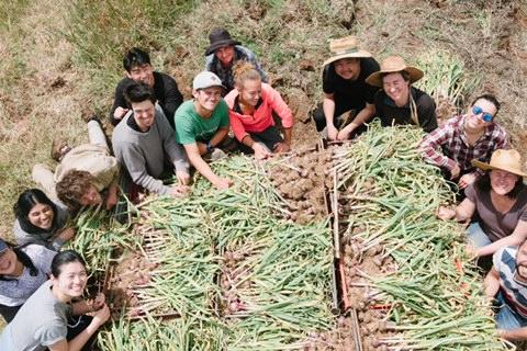 garlic harvest 2019